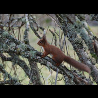 red Squirrel by river earn