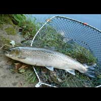 Close up of sea trout river earn